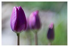 Tulips (leo.roos) Tags: tulips tulpen purple paars spring lente a7 carlzeiss zeissikonvariotalonmc7012035 reversed talon projectorlens projectionlens darosa leoroos purpleandgreen