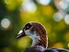 Mighty Ducks of Hyde Park Part II... (davYd&s4rah) Tags: duck bird uk bokeh green light fall ente feder feather wiese field park hydepark london olympus m75mm f18 sun licht england outside pretty walk herbst grün vacation city citylife cityscape eye