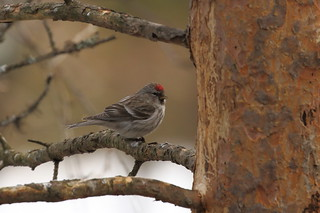 Grote barmsijs - Common Redpoll -  Acanthis flammea