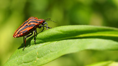 Graphosoma lineatum - 35mm Macro (Visual Stripes) Tags: will insect nature leaf forest 35mmmacro macro