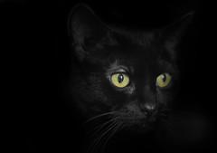 HIdden II (Jackie XLY) Tags: cats blackcats halloween bw blackandwhite blackandwhitecats