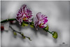 FEBRUARY 2017-020383-222 (Nick and Karen Munroe) Tags: flowers flower flowering blossoms blossom bloom blooms orchid orchids plants plant canada colour color colors colours nikon nickmunroe nickandkarenmunroe nature nickandkaren 85mm nikon85f18g nikon85f18 beauty brampton beautiful brilliant munroedesignsphotography munroedesigns munroephotography munroe karenick23 karenick karenandnickmunroe karenmunroe karenandnick karen ontario ontariocanada macro upclose closeup bokeh