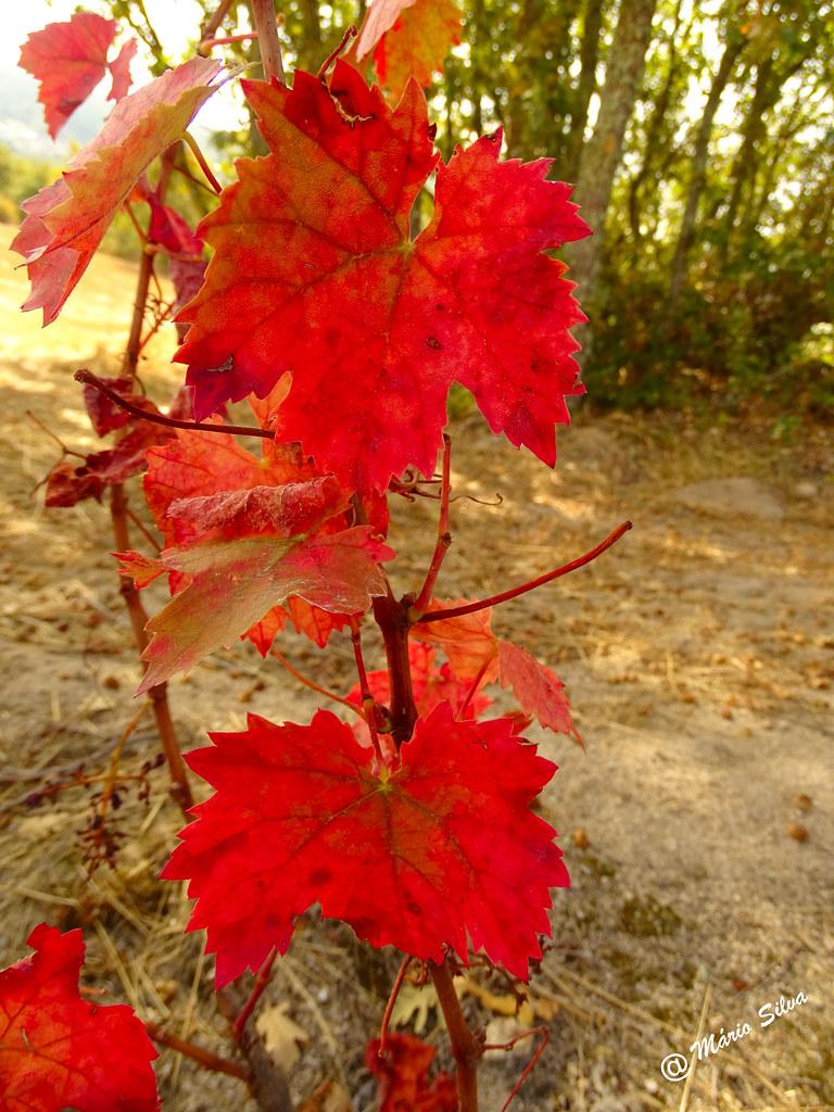 Águas Frias (Chaves) - ... folhas de videira em tempo outonal ...
