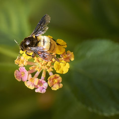 Don't Worry Bee Happy (KHK Images) Tags: bee flowers macro nature plants green nectar pollen buzz