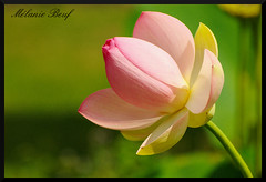 Lotus (Melanie Beuf) Tags: fleur flower lotus nelumbo nucifera macro