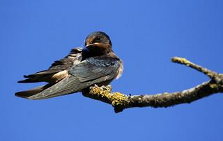 Juvenile Swallow (2710)