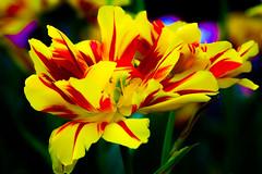 Araluen Tulip in Hungarian Dance (Jack o' Lantern) Tags: masterphotos gorgeous vividstriking ngc floralfantasy npc contemporary art society contemporaryartsociety saariysqualitypictures