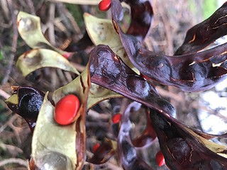 Twisted Rosary Pea Pods