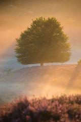 20170813-Canon EOS 6D-2060 (Bartek Rozanski) Tags: rheden gelderland netherlands veluwezoom national park morning heath summer dutch veluwe tree mist valley nature sunrise