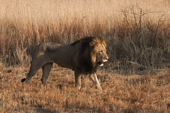 Male lion (ingmar1989) Tags: south afrika wildlife animals 2017 ivegte ingmar de vegte mabula private game reserve southafrica africa canon eos 7d 100400mm f4556 l is usm ef nature fauna flora dieren leven ingmardevegte flickr picture image photo foto photography fotografie pic