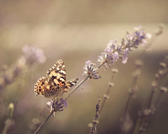 Have you noticed the abundunce of butterflies lately? (dog ma) Tags: painted lady butterfly autumn fall nature nikon d750 nikkor 105mm dogma jodytrappephotography