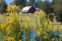 DSC_1311 (capt_tain Tom) Tags: goldenrod weed weeds barn redbarns redbarn pond pondwithredbarn pondwithbarn