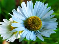 Medicinal Plant of The Year (caren (Thanks for 2.5 Mio+ views)) Tags: daisy bellisperennis asteraceae gänseblümchen heilpflanzedesjahres2017 7dmf makemesmile macro wildflower