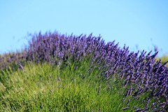 13/52 Green: Lavender Farm (Bella Lisa) Tags: lavender green sequim lavenderfarm lavenderfarminsequim olympicmountains washington