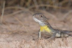 Painted Dragon (Ctenophorus pictus) (shaneblackfnq) Tags: painted dragon ctenophorus pictus shaneblack lizard reptile agamid sceale bay eyre peninsular south australia