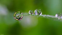 My world - 4032 (YᗩSᗰIᘉᗴ HᗴᘉS +10 000 000 thx❀) Tags: macro supermacro green drop droplet brillant brilliant hensyasmine dew yasminehens today morning canon canoneos7dmarkii