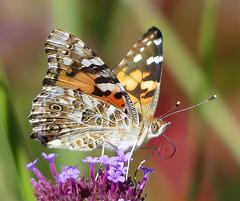 Painted Lady Butterfly (henry jurenka) Tags: paintedlady