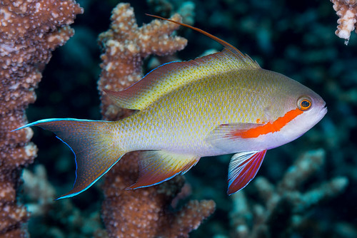 Threadfin Anthias, male - Pseudanthias huchtii
