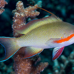 Threadfin Anthias, male - Pseudanthias huchtii thumbnail