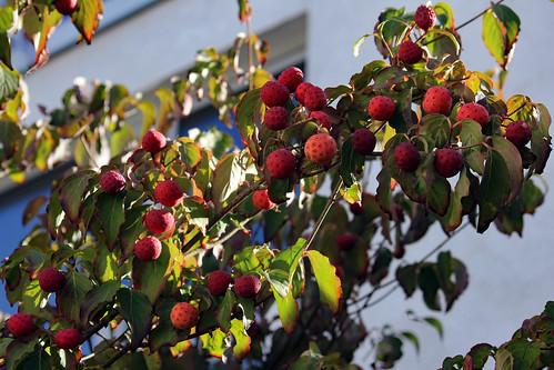 """Asiatischer Blüten-Hartriegel (01) • <a style=""""font-size:0.8em;"""" href=""""http://www.flickr.com/photos/69570948@N04/37567523972/"""" target=""""_blank"""">Auf Flickr ansehen</a>"""