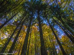 Into the trees (Valeria Santacaterina) Tags: tree trees forest foresta woods bosco nature love peace simply lights colors autumn autunno legno alberi albero luce colori