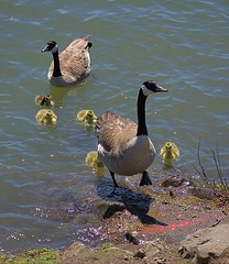 Escorted (swong95765) Tags: geese canadageese birds babies chicks escorts river water lesson swim float