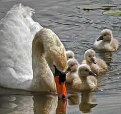 We are family (Robyn Hooz) Tags: swan chicks beaks becchi acqua fimon lake pesca fish family italy vicenza zoom