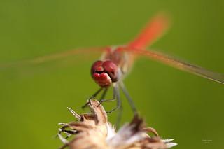 Libelinha (Dragonfly)