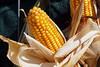 Maiskolben (ingrid eulenfan) Tags: leipzig herbstmarkttage herbst ernte erntezeit maiskolben futterpflanze