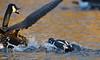 Canard arlequin qui attaque une bernache (robertgagnonphotographe) Tags: attaque arlequin faune animal