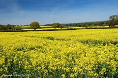 Springtime Fields (Holfo) Tags: flowers landscape trees yellow rapeseed shropshire countryside nikon d5300 england uk briatin greatbritain flower sky field tree