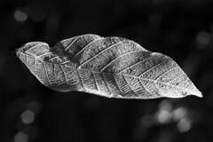 Skeleton leaf (Clive Adgo) Tags: macro mondays souvenir skeleton skeletonleaf leaf cannon cannond60 blackandwhite blackbackground bokeh