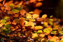 290/365 Autumn Colours ([inFocus]) Tags: 365 3652017 project365 leaves orange bokeh alderleyedge manchester cheshire autumn colour creative canon 70200mm 5dmkiv