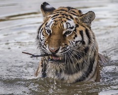 Hope's Found a Toothpick!-1 (tiger3663) Tags: amur tiger hope toothpick water yorkshire wildlife park