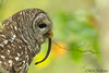 A Tasty Sssssssssss-nack! (Barred Owl) - Explored (Mitch Vanbeekum Photography) Tags: barredowl eating snake mitchvanbeekum mitchvanbeekumcom canon14teleconvertermkiii canoneos1dx canonef500mmf4lisiiusm barred owl closeup portrait side view autumn colors fall leaves nj newjersey nature wildlife dekaysbrownsnake brownsnake brown
