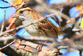 white-throated sparrow at Chipera Prairie IA 854A0363