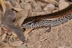 Lowlands Earless Skink (Hemiergis peronii) (shaneblackfnq) Tags: lowlands earless skink hemiergis peronii shaneblack lizard reptile coffin bay south australia eyre peninsula