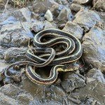 Garter Snake thumbnail