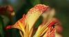 Canna (Shutter_Hand) Tags: texas usa miguelmendozamuñoz clarkgardens botanicalpark weatherford mineralwells secretgarden parquebotánico jardinbotánico botanico jardin jardinsecreto texasgem texasjewel naturaleza lenscraft sonyaf100mmf28macro macro sony alpha a99 sonyalphaa99 slta99