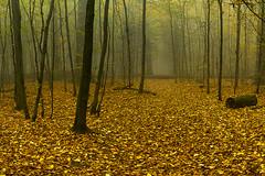 Rezerwat Bukowa Góra (RafalGorski) Tags: green autumn jesień polska poland zielony fog forest lubelskie mgła zwierzyniec trees woods nature nikon landscape morning