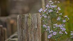 Fenced flora (Renate Bomm) Tags: köln nordrheinwestfalen deutschland 7dwf blume canoneos6d ef100mmf28l fended flora flower friday renatebomm