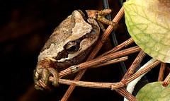 JUST HANGIN' ON (Lani Elliott) Tags: nature naturephotography lanielliott frog amphibian browntreefrog brown garden homegarden macro upclose close closeup bokeh light bright eye macrounlimited fantastic superb wow excellent