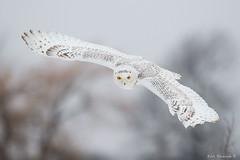 Inbound (Earl Reinink) Tags: owl bird animal earl reinink earlreinink white snow winter hhezaadoa