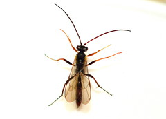 Klämbakstekel / Ichneumon Wasp (Bathyplectes infernalis) hona (Martin1446) Tags: nature natur nikon d500 macrro insect parasitstekel klämbakstekel ichneumon wasp bathyplectes infernalis hona
