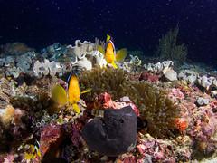 Stars in the reef (Pablo Sarasa) Tags: clownfish square stars anemonefish reef scuba orange sea maldives type underwater wildlife clown clownfishdive anemone ocean diving scattering marine