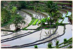 Rizières  vers Sidemen © Bali (philippedaniele) Tags: rizières bali