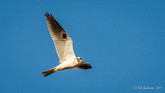White-tailed Kite (Bob Gunderson) Tags: birds birdsofprey blufftop california elanusleucurus halfmoonbay kites northerncalifornia peninsula sanmateocounty whitetailedkite