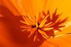 Shadow Play (gripspix (OFF)) Tags: 20171016 autumn herbst impressions impressionen eindrücke californianpoppy goldmohn macro nahaufnahme shadow schatten