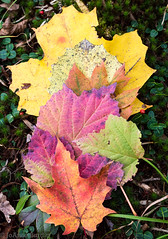 Rainbows of Autumn (cowgirljo78) Tags: leaves autumn fall leaf colors october wisconsin mixed stilllife outdoor