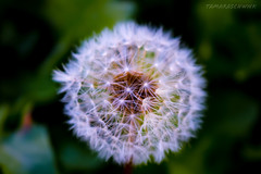 (tamaraschwenk) Tags: nature makeawish dandelion